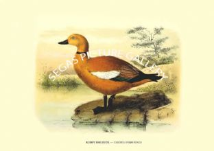 RUDDY SHELDUCK ---- TADORNA FERRUGINEA